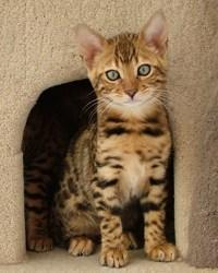 Bengal Kitten <br /> 